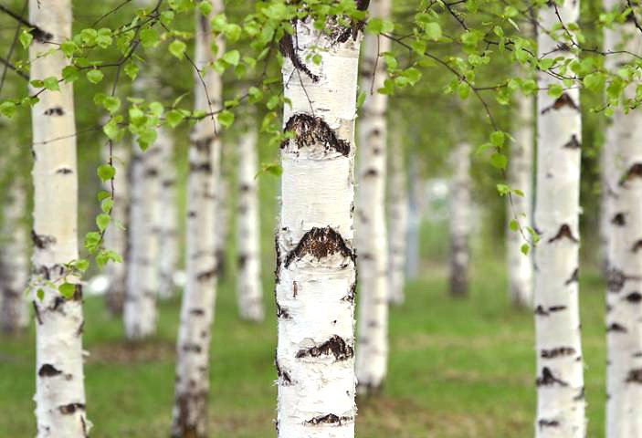 Sugar-Free Gum, Xylitol from Birch trees