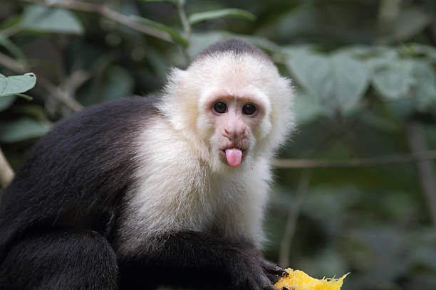 capuchin-monkey